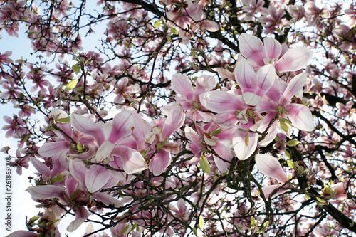 canvas print picture Blick von unten in einen blühenden Magnolienbaum