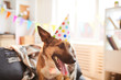 Portrait of smiling dog wearing Birthday cap enjoying party, copy space