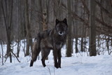British Columbia Wolf in the snow