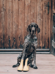 German pointer sitting outdoor