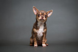 Chihuahua puppy on a gray background