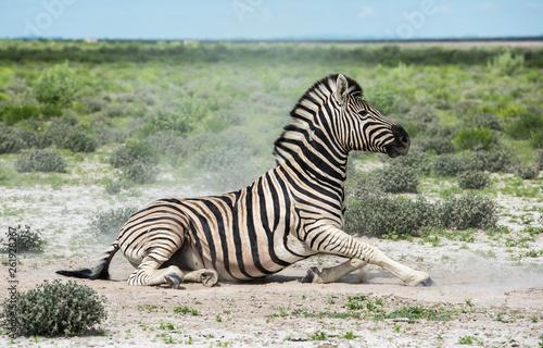 Zebra in Etosha national park, Namibia - 261928267