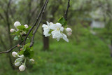 Apple tree is a wide open blooming flower in spring, surrounded by tender closed buds on a branch in close-up and with a soft focus blur of green and brown bokeh background