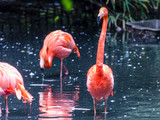 Pink flamingo in a pond