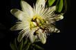 canvas print picture - Maracujablütte maracuja blossom