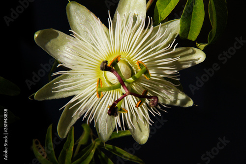 canvas print picture Maracujablütte maracuja blossom