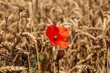 ein großes Feld mit Weizen und einer Mohnblume