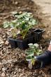 Gardener planting strawberry seedlings in freshly ploughed garden beds.
