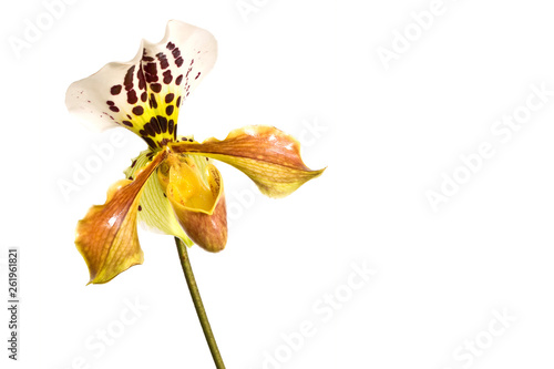 Yellow Lady slipper (paphiopedilum) orchid, close-up isolated on white background
