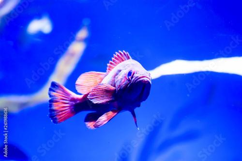 Leinwandbild Motiv Blurry photo of black hamlet fish Hypoplectrus nigricans in a sea aquarium