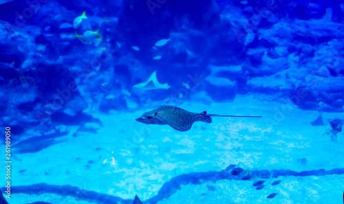 Leinwandbild Motiv Blurry photo of an Eagle ray Myliobatidae in a sea aquarium