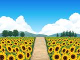 Summer sunflower field