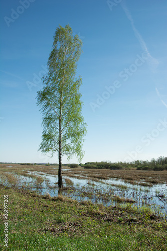 Tall birch tree growing on a wet meadow - 261997285