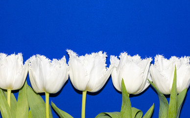 Blue. Isolated. Tulips. Flowers. Spring. Macro
