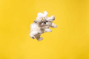 Shih-tzu puppy wearing orange bow. Cute doggy or pet is jumping isolated on yellow background. The Chrysanthemum Dog. Negative space to insert your text or image. © master1305