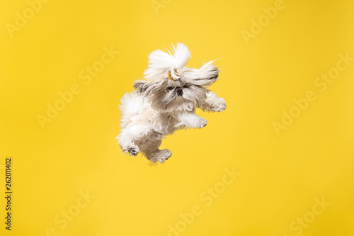 fototapeta na ścianę Shih-tzu puppy wearing orange bow. Cute doggy or pet is jumping isolated on yellow background. The Chrysanthemum Dog. Negative space to insert your text or image.