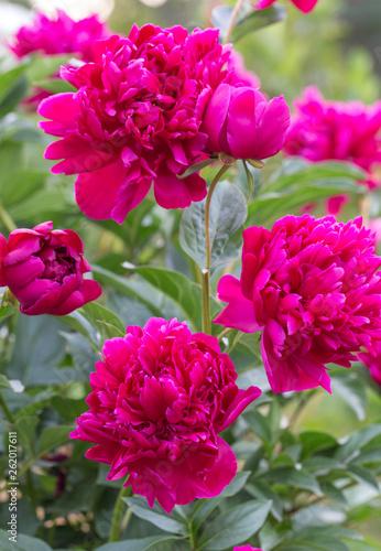 Magenta peony flower head in garden with green - 262017611