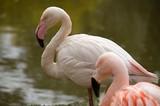 pink flamingo in captivity in Pilsen ZOO Czech republic