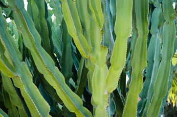 Close-up of  cactus  night blooming cereus.