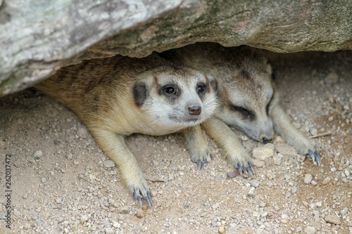 The Suricata suricatta or meerkat sleep in cave