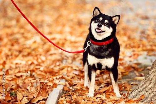Shiba inu dog in autumn park
