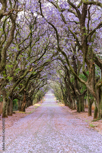 Jacaranda trees line the road