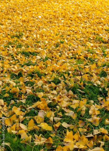 Fallen Ginko Biloba leaves