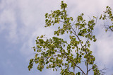 Branch of birch with green and yellow leaves on the background with blue sky. Early autumn