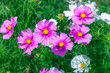 Pink Cosmos Flowers filled in with sunlight on a summer garden - 262053447