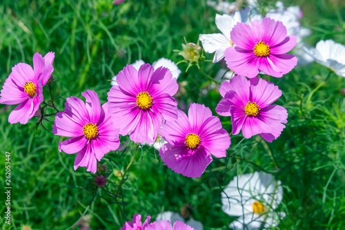 Pink Cosmos Flowers filled in with sunlight on a summer garden
