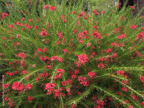 Grevillea rosmarinifolia Grévillier à feuilles de romarin © indorienta