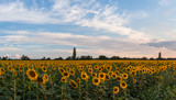 Farmland view with sunflowers field