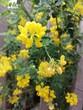 canvas print picture - fleurs jaunes