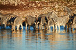 Burchell's zebras (Equus quagga burchellii) drink at a waterhole