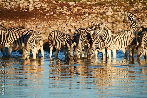Burchell's zebras (Equus quagga burchellii) drink at a waterhole - 262110460