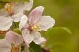 Apple tree Blossom #6