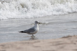 Ring Billed Gull in the Surf