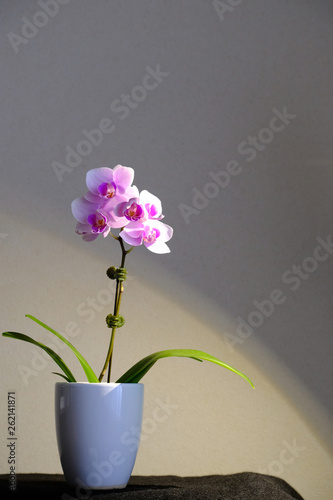 orchid flower isolated - 262141871