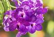 Close up of purple Vanda orchid blossom in flower garden