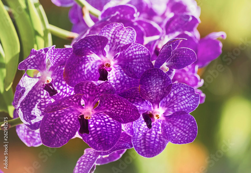Close up of purple Vanda orchid blossom in flower garden - 262145275