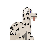 Dalmatian sits with his tongue sticking out.