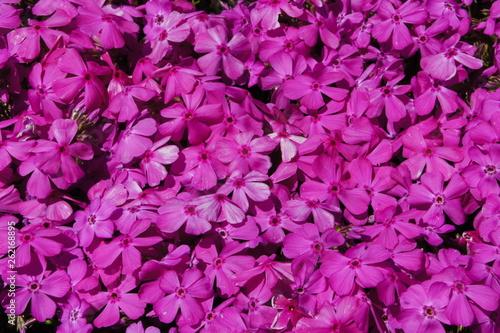芝桜の季節 - 262168895