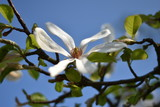 Magnolienblüte (Magnolia)