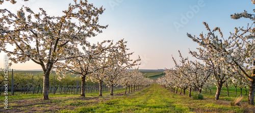 Cherry orchard in spring - 262185470