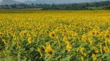 Field cultivated with sunflower on a day with cloudy sky