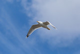 common gull flying in a blue sky with clouds