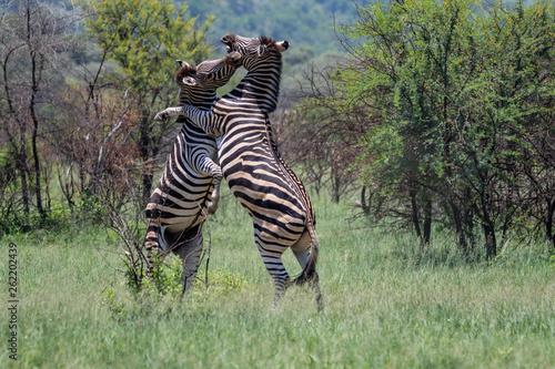 zebras fighting in africa - 262202439