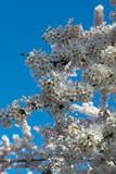 Spring blossom of Japanese white sakura tree
