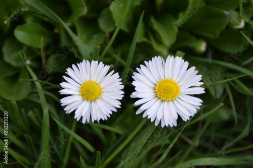Two white daisies in top view of meadow - 262213220