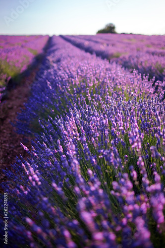 Lavender plant, blue purple field flowers, blooming floral background